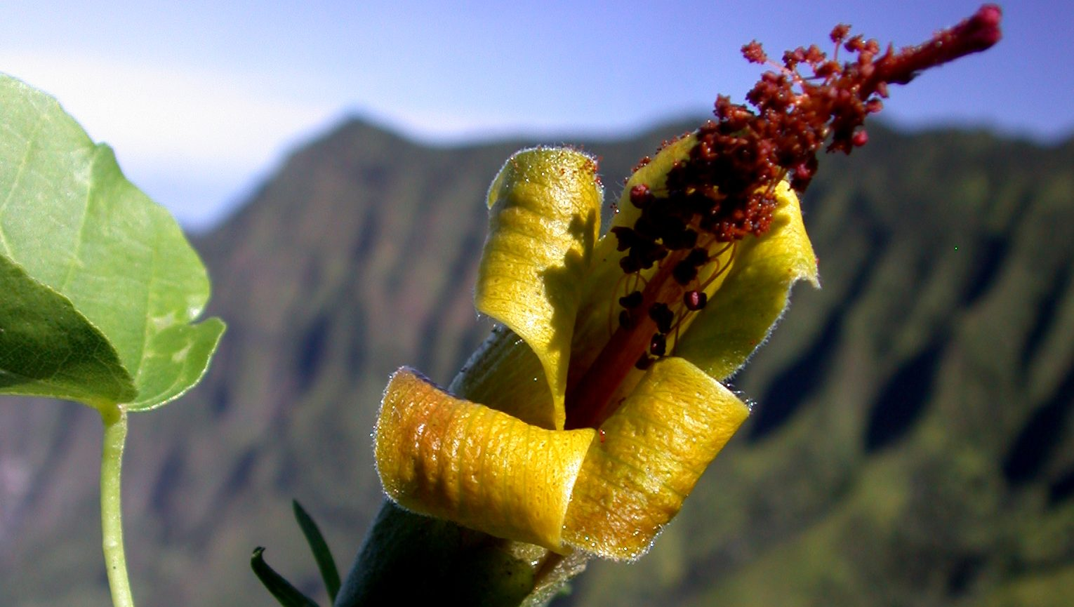qz.com - Zoë Schlanger - Botanists rediscover a rare Hawaiian flower thought to be extinct-thanks to a drone