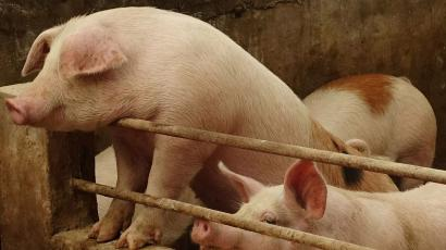 Swine fever in China may hit US soybean farmers hardest — Quartz