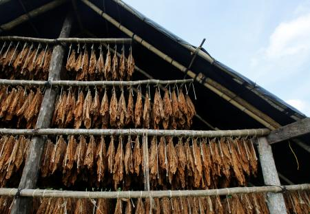 Tobacco leaves are seen in a curing barn at a tobacco plantation in Sucre