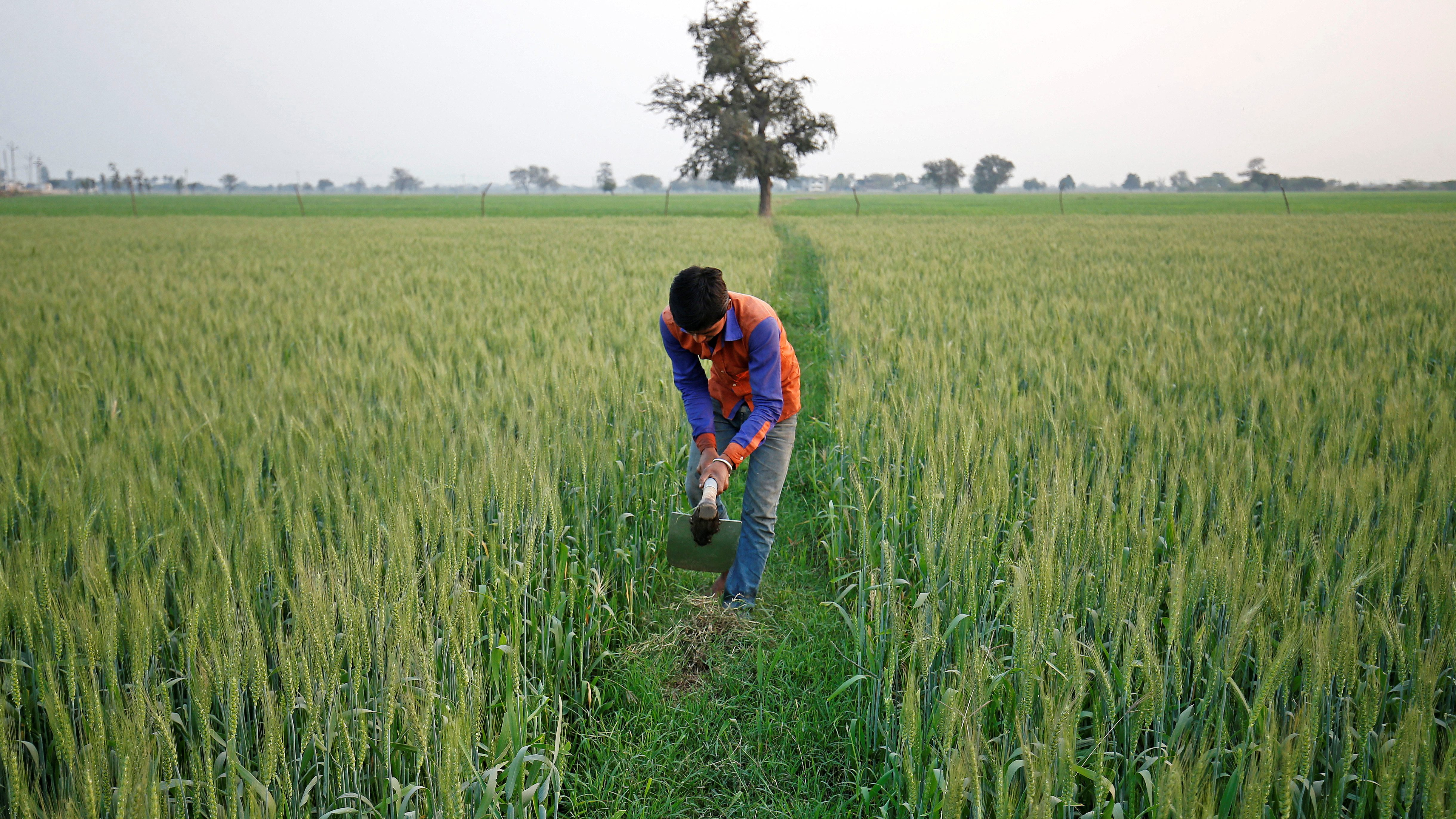 A farmer works in wheat field on the outskirts of Ahmedabad