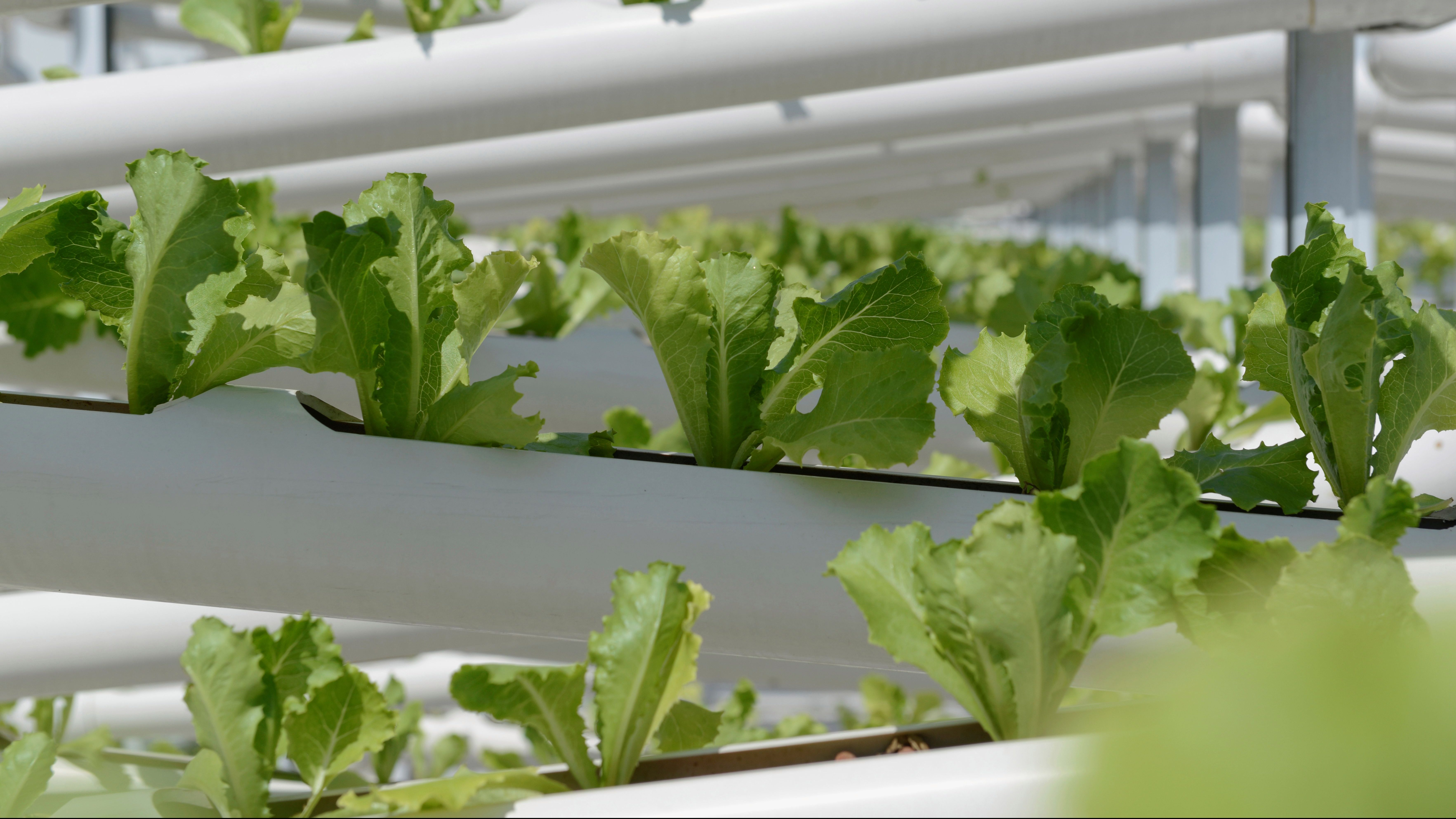 Organic lettuces are seen on rows of growing towers made out of PVC pipes at Citiponics' urban farm on the rooftop of a multi-storey carpark in western Singapore