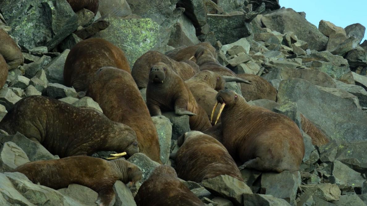 netflix our planet walrus