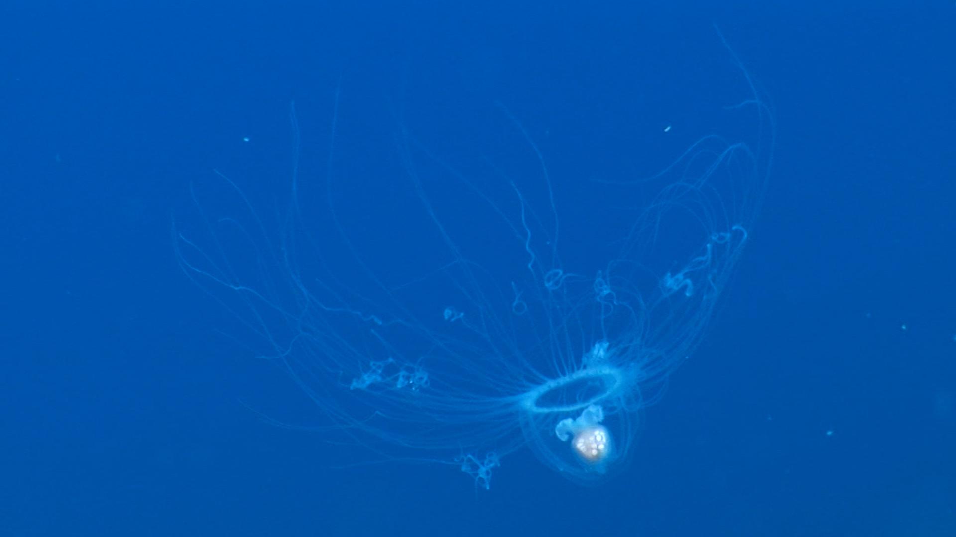 """Immortal"""" jellyfish may help scientists cure brain disease — Quartz"""