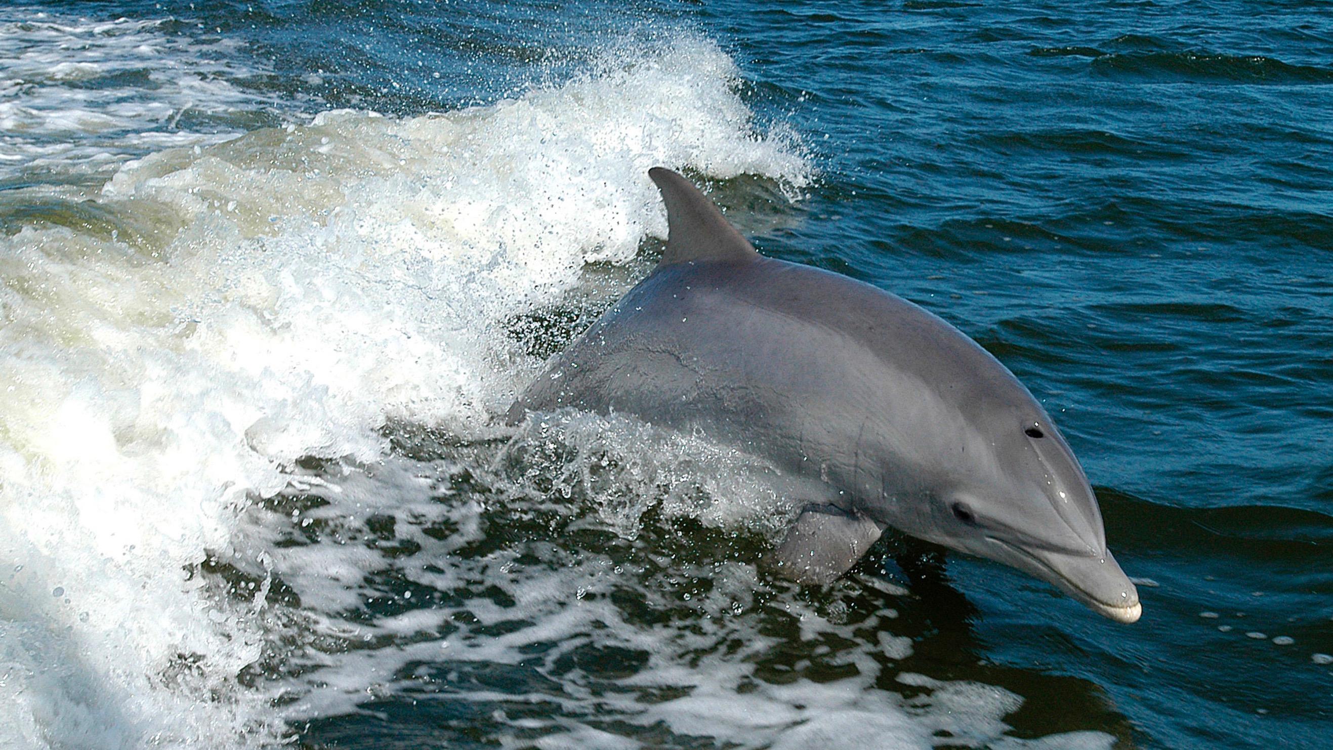 Florida bottlenose dolphin.
