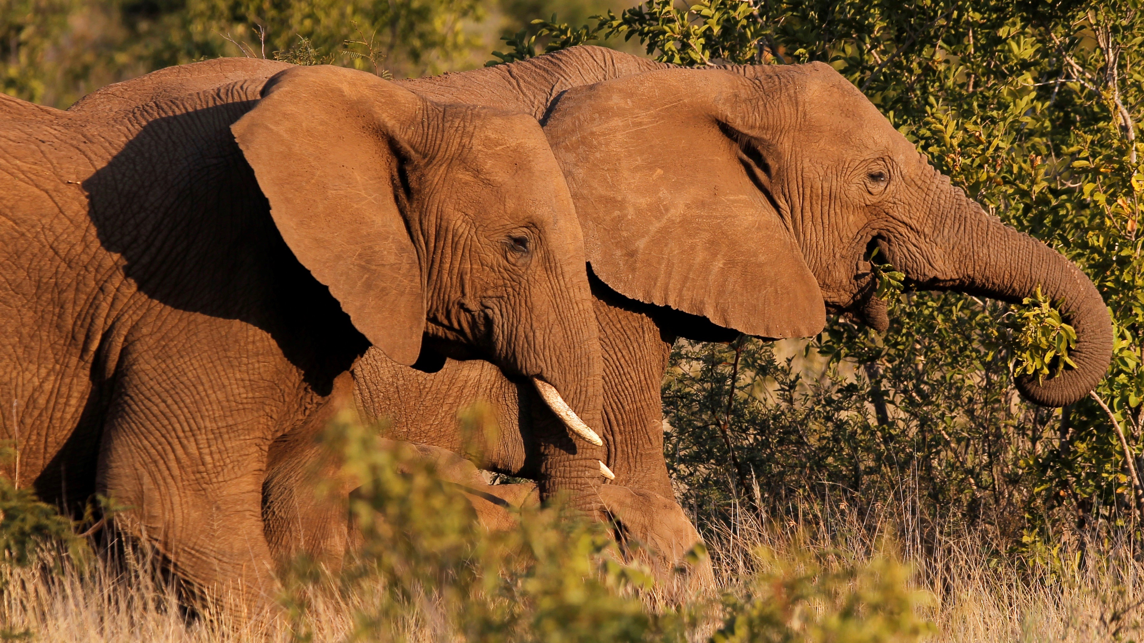A pair of elephants walk in a national park in South Africa.