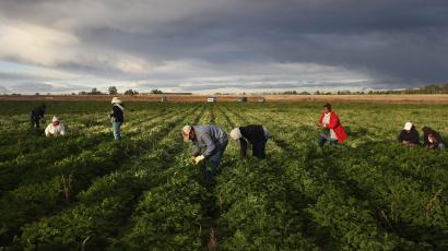 """WELLINGTON, CO - OCTOBER 11: Mexican migrant workers harvest organic parsley at Grant Family Farms on October 11, 2011 in Wellington, Colorado. Although demand for the farm's organic produce is high, Andy Grant said that his migrant labor force, mostly from Mexico, is sharply down this year and that he'll be unable to harvest up to a third of his fall crops, leaving vegetables in the fields to rot. He said that stricter U.S. immigration policies nationwide have created a """"climate of fear"""" in the immigrant community and many workers have either gone back to Mexico or have been deported. Although Grant requires proof of legal immigration status from his employees, undocumented migrant workers frequently obtain falsified permits in order to work throughout the U.S. Many farmers nationwide say they have found it nearly impossible to hire American citizens for seasonal labor-intensive farm work. (Photo by John Moore/Getty Images)"""