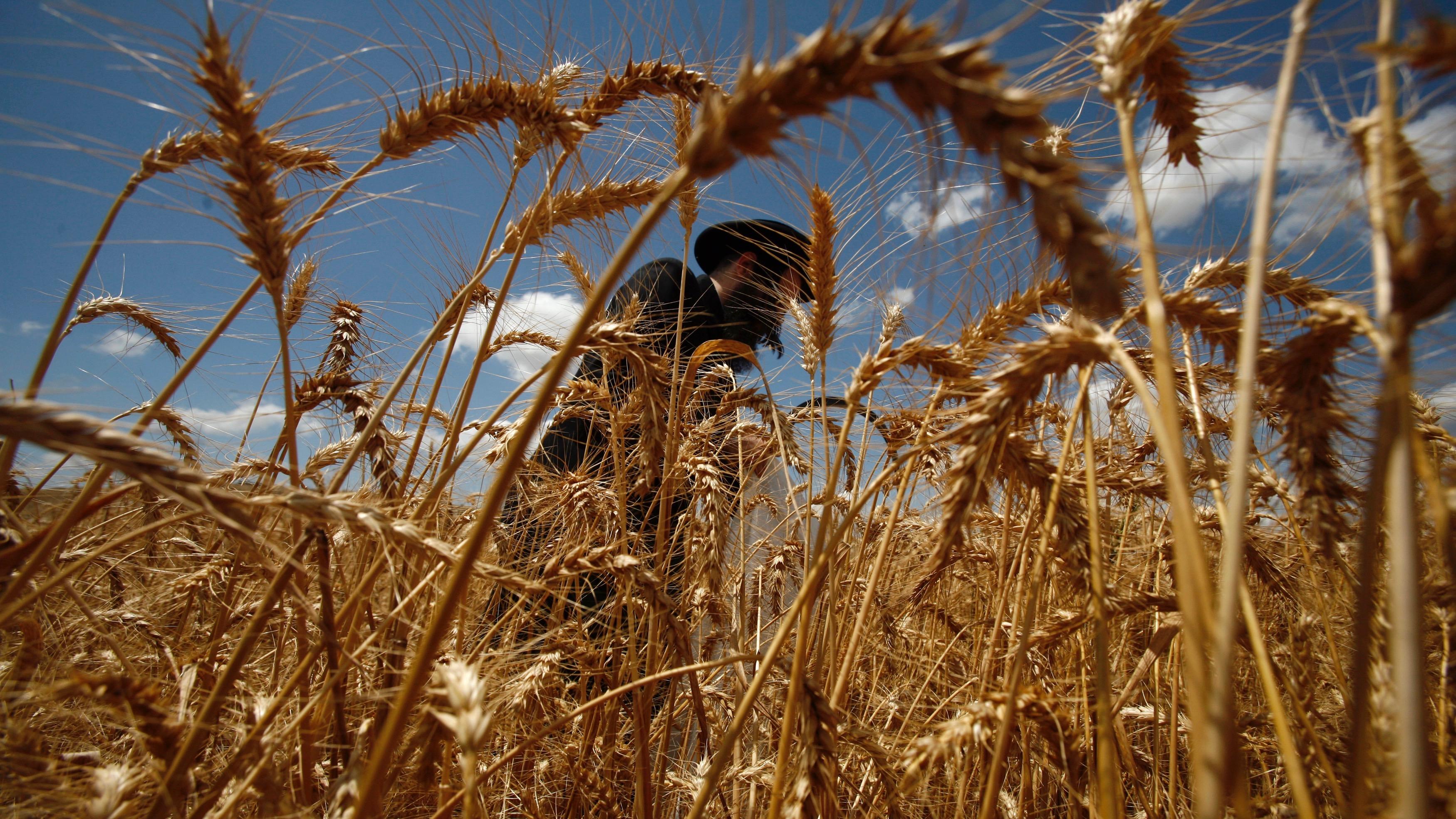 Man harvests wheat for matzah.