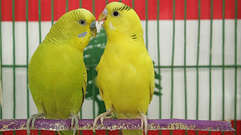 Budgerigar birds in a cage