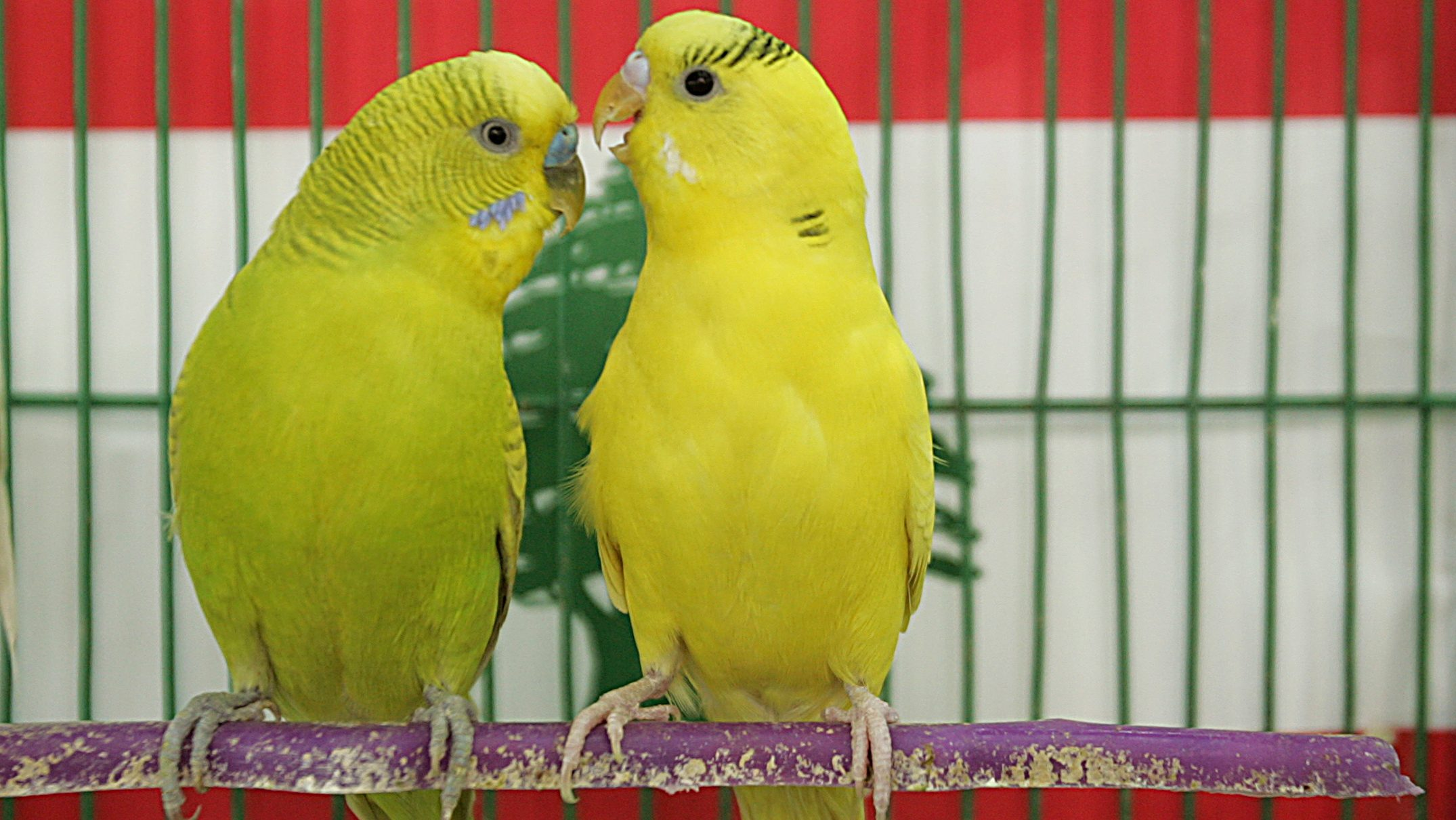 Budgerigar birds in a cage