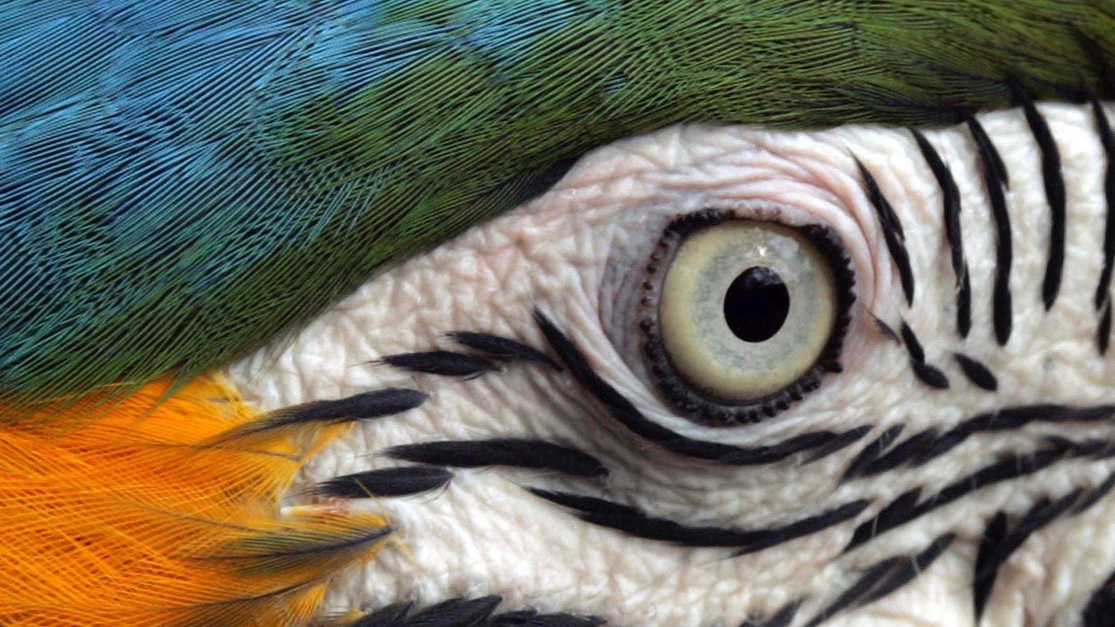 Brazilian macaw closeup.