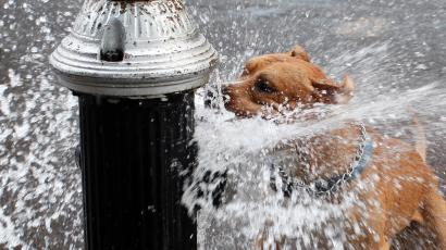 A pit bull terrier drinks from a hydrant.