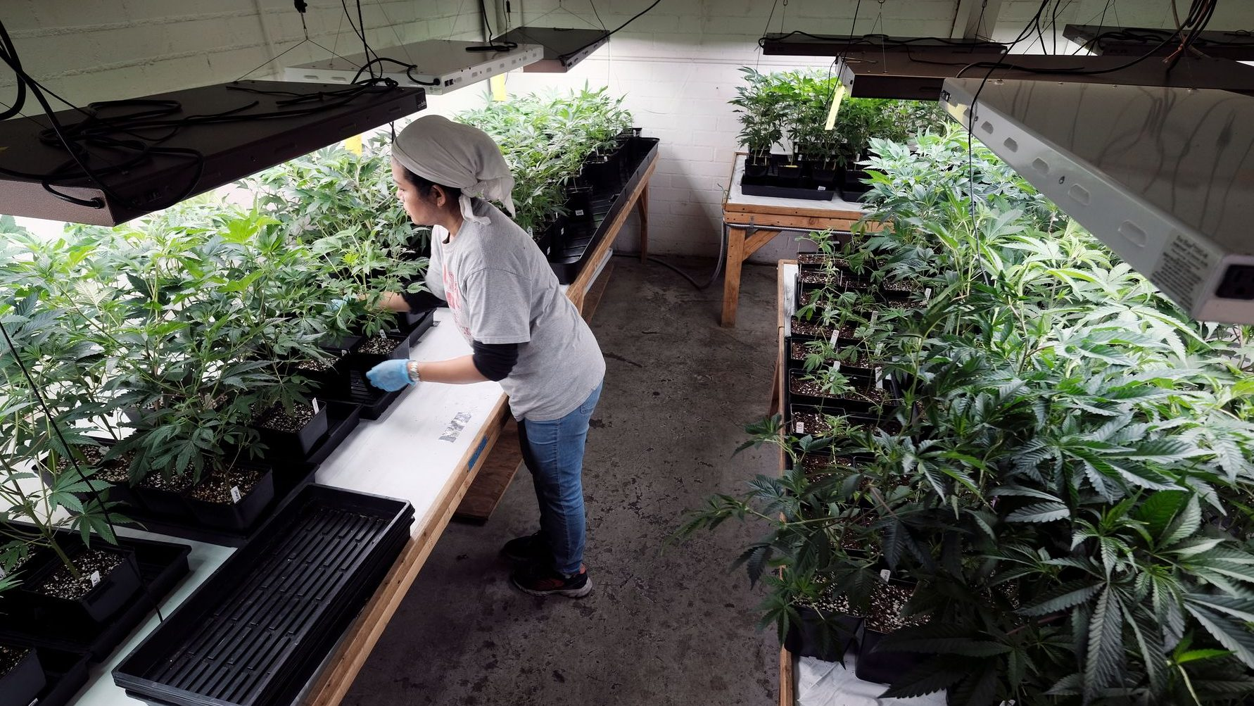 How much do marijuana businesses pay in taxes?