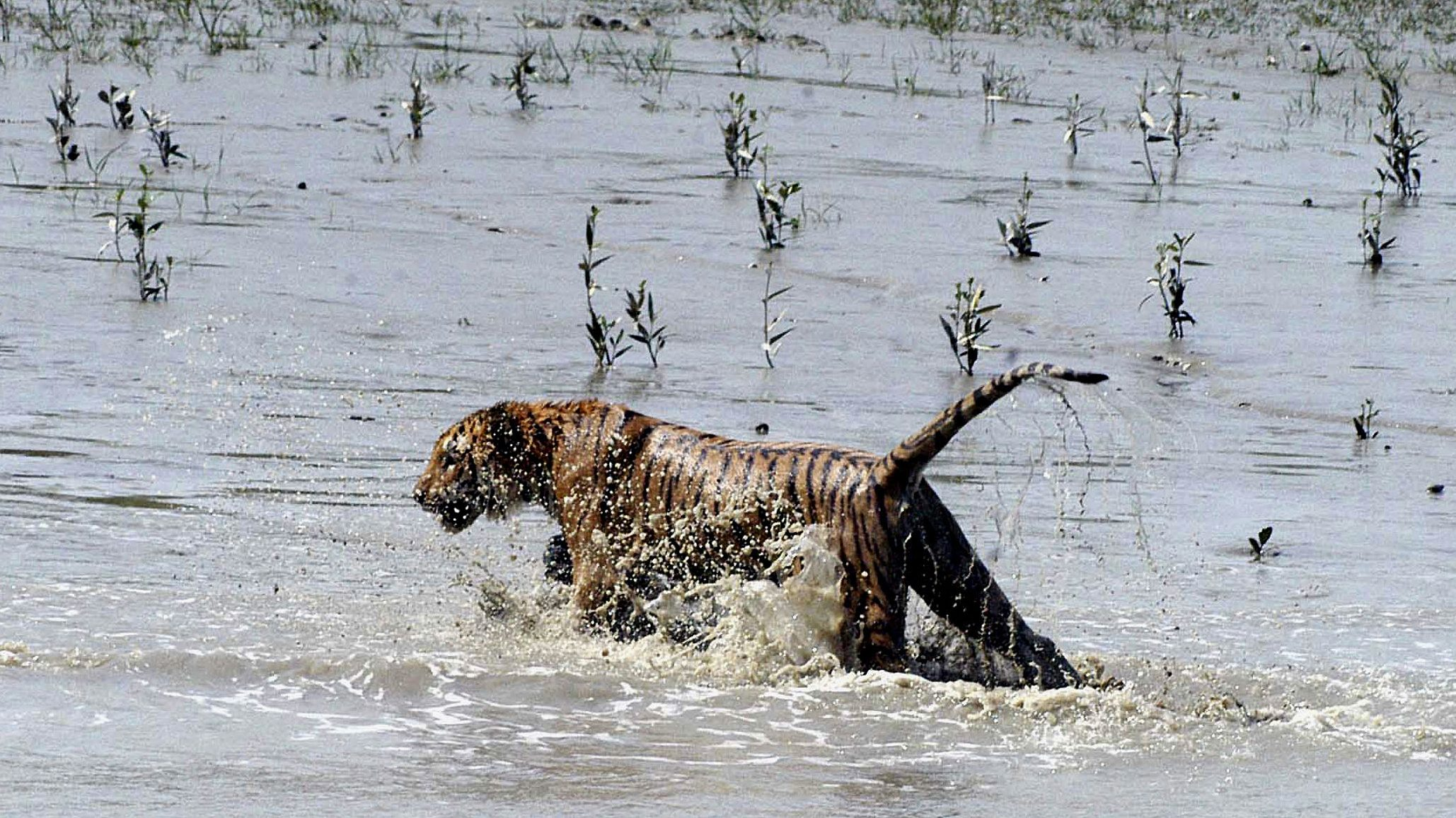 These Indians battle tigers every day. But it's politics they fear now