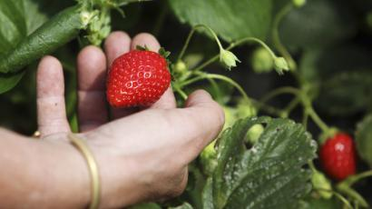 Strawberry picker