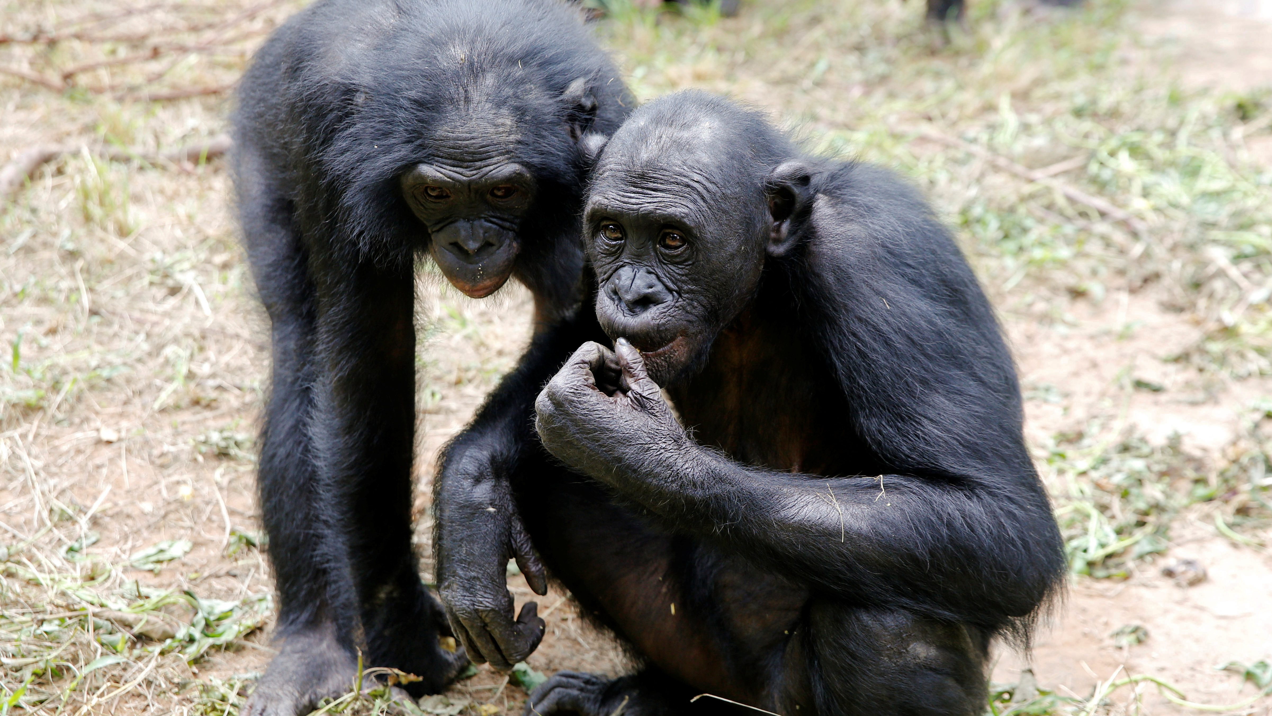 Bonobo ape mothers push their sons to find sex partners