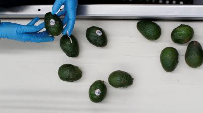 An employee selects avocados to pack in the Global Fruit Packing Company in Uruapan, in Michoacan state, Mexico