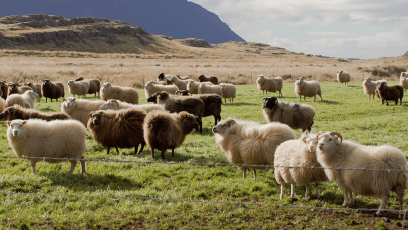 sheep in iceland field