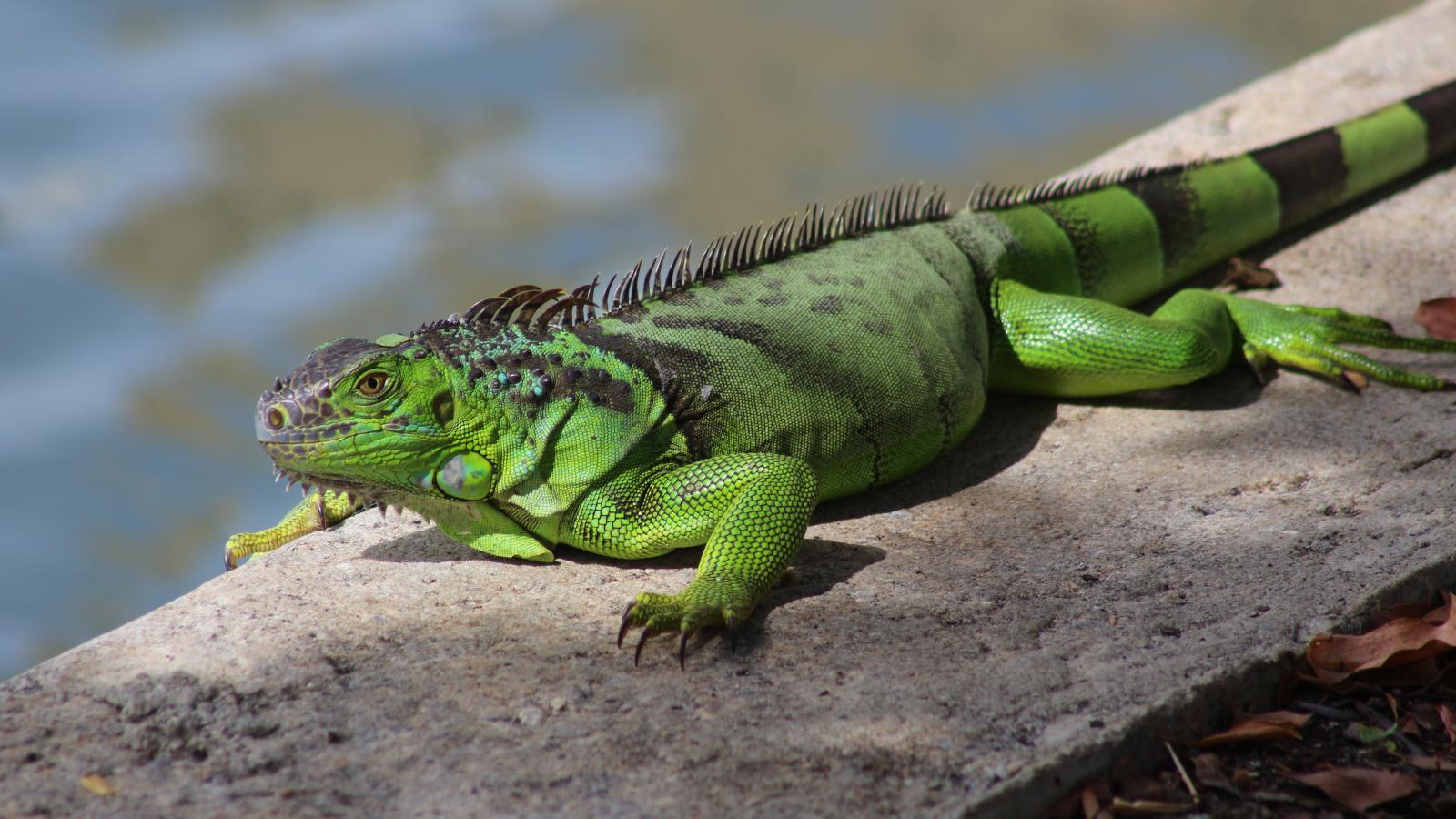 Florida tempers advice on hunting invasive iguanas — Quartz