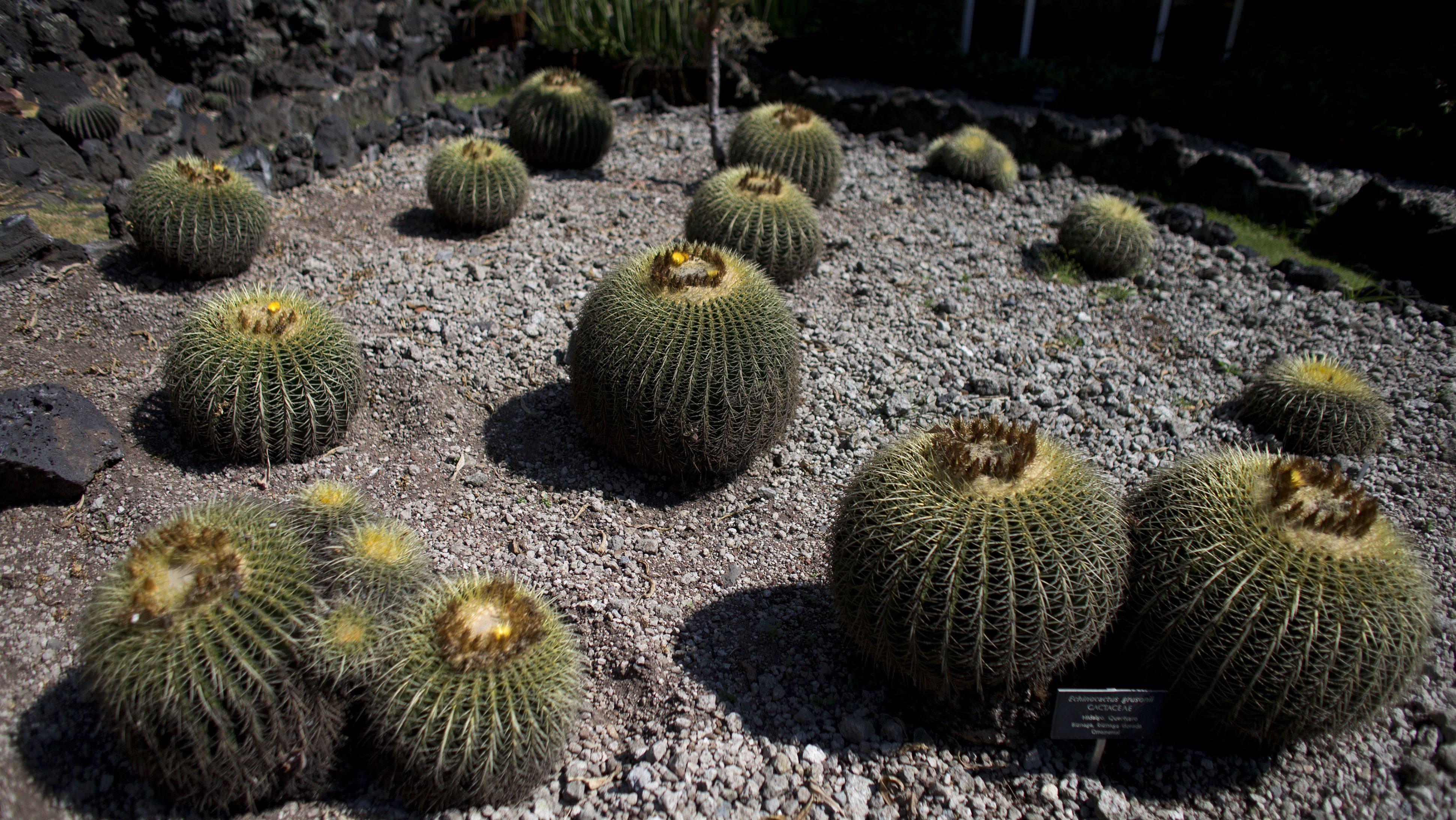 Us Border Security Busts German Smuggling Endangered Cactus Seeds