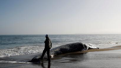 A man touches the tail of a dead gray whale with his foot on Limantour Beach at Point Reyes National Seashore in Point Reyes Station, north of San Francisco, California, U.S., May 23, 2019.