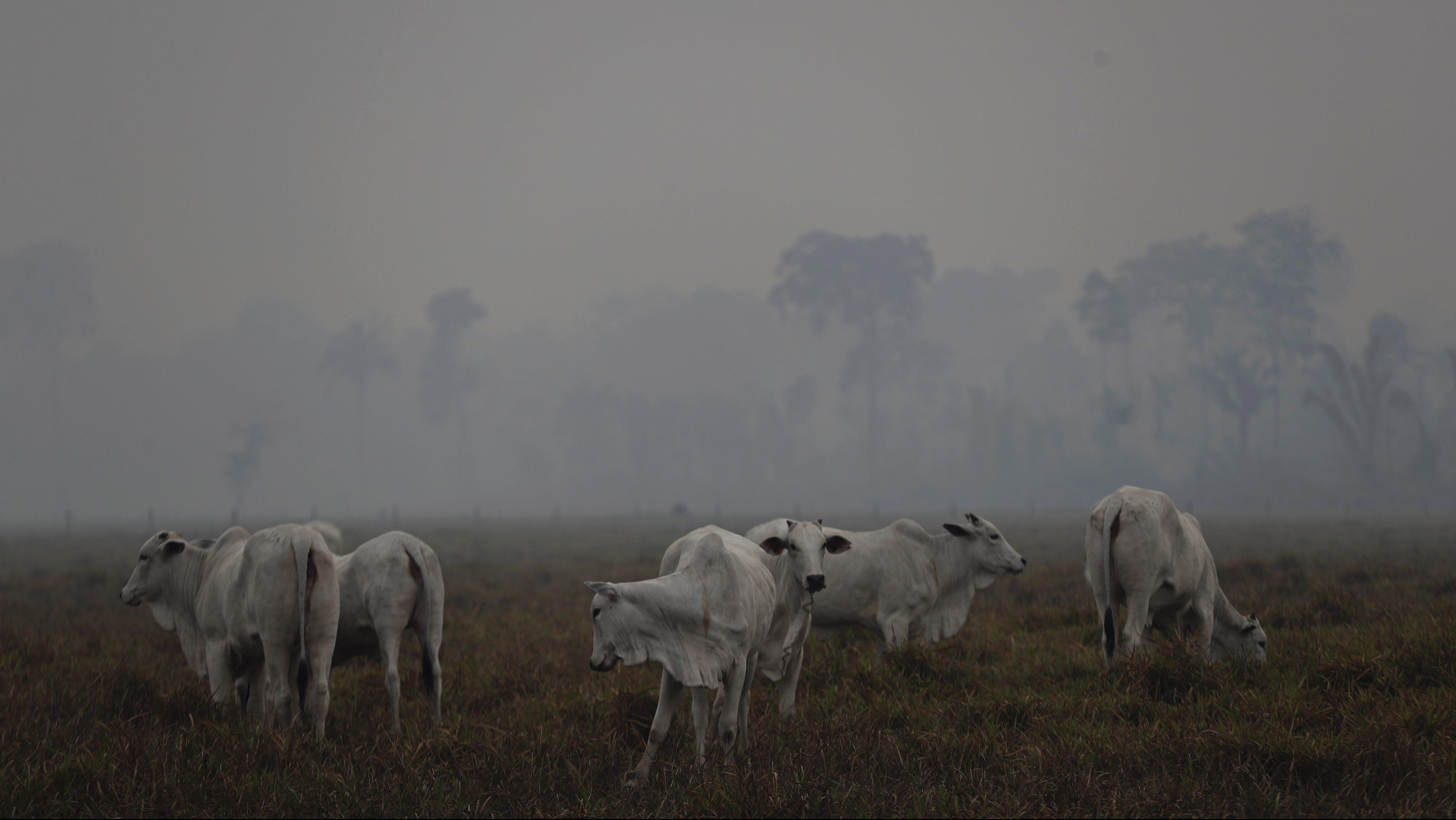 Cattle graze in front of Amazon fire's smoke