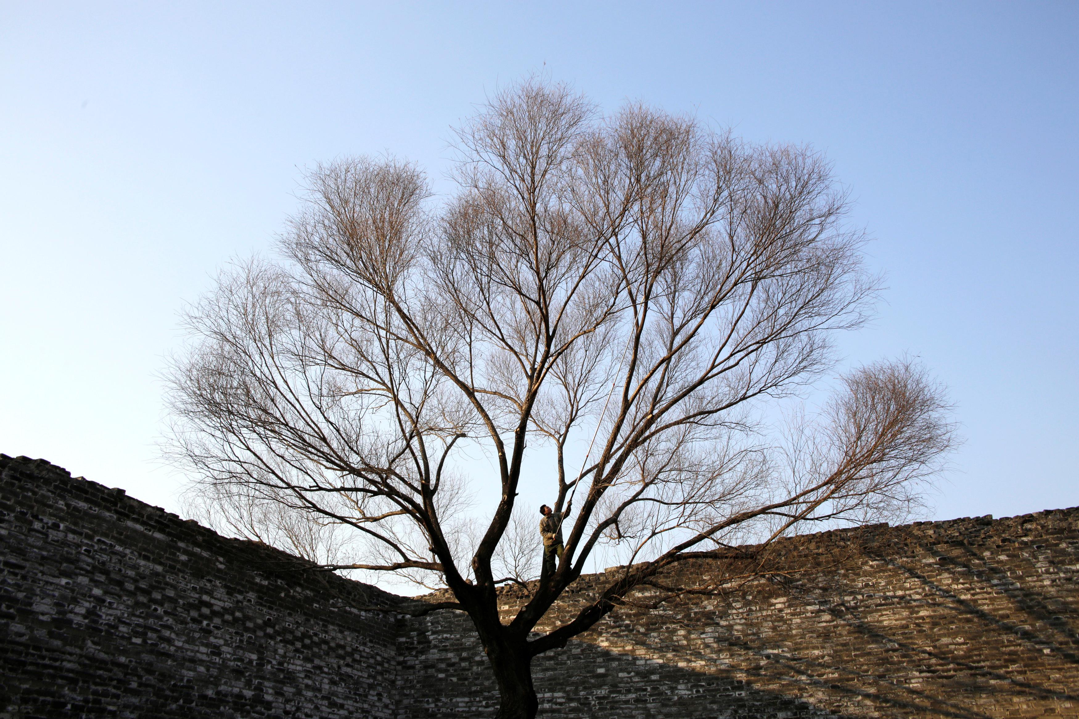 man-pruning-tree