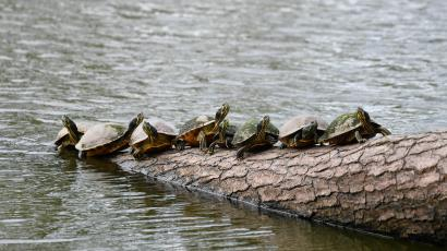 A group of turtles on a log