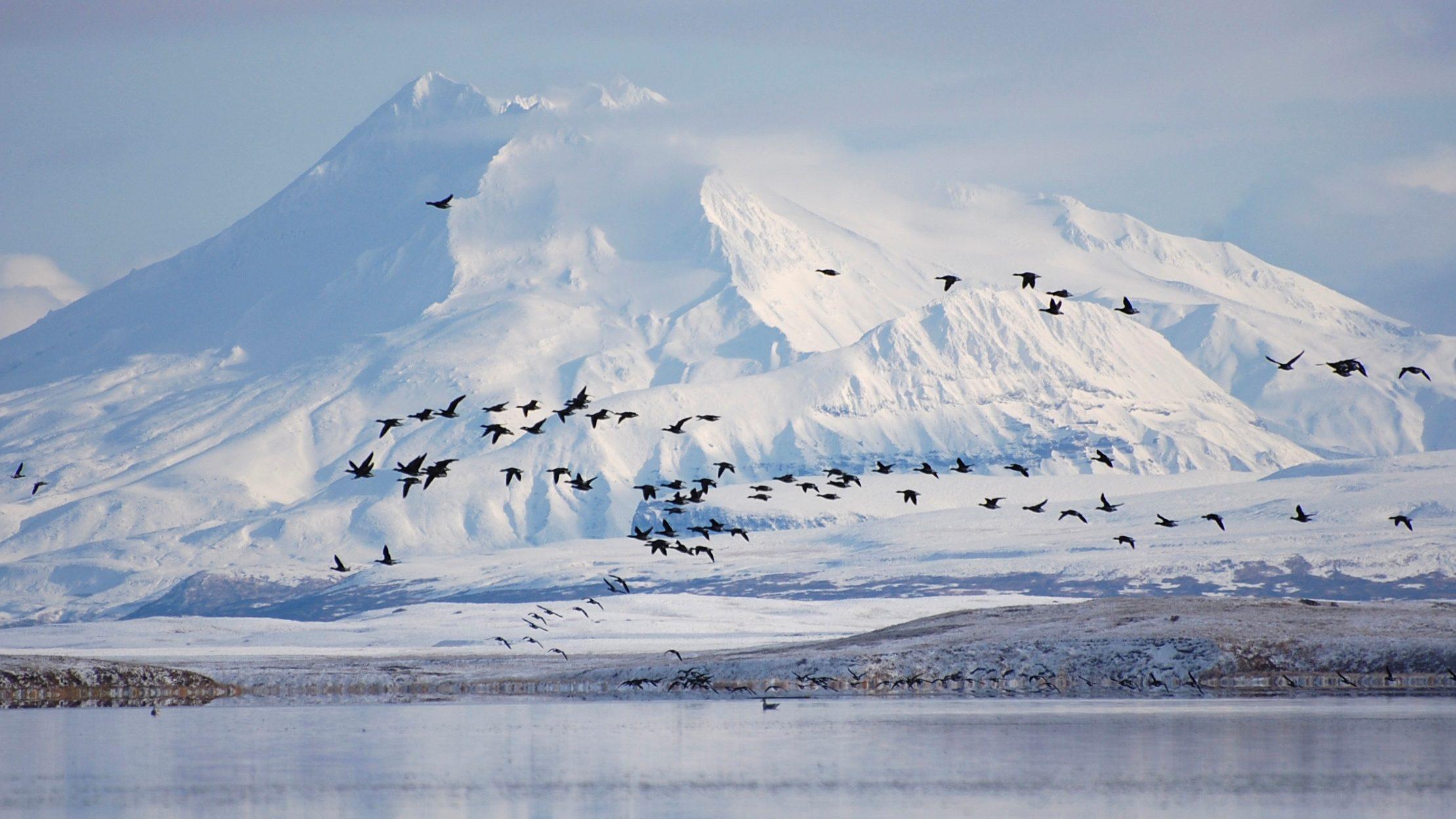 Pacific black brant fly past Mount Dutton over the Izembek Lagoon in the Izembek National Wildlife Refuge in Alaska's Aleutian Islands