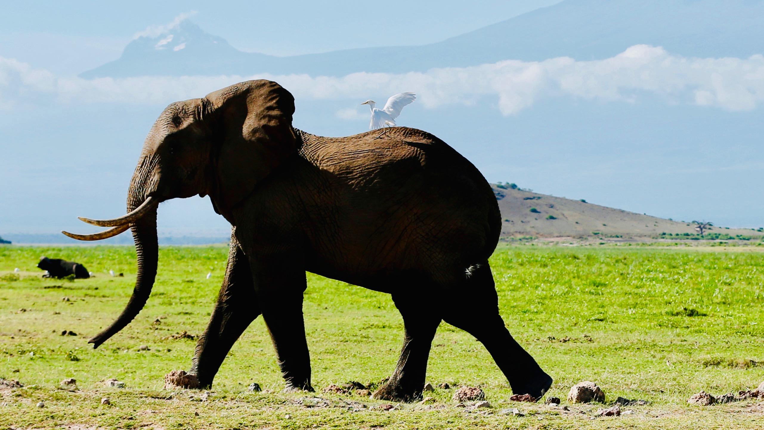 African Savanna Elephant   The Animal Facts   Habitat