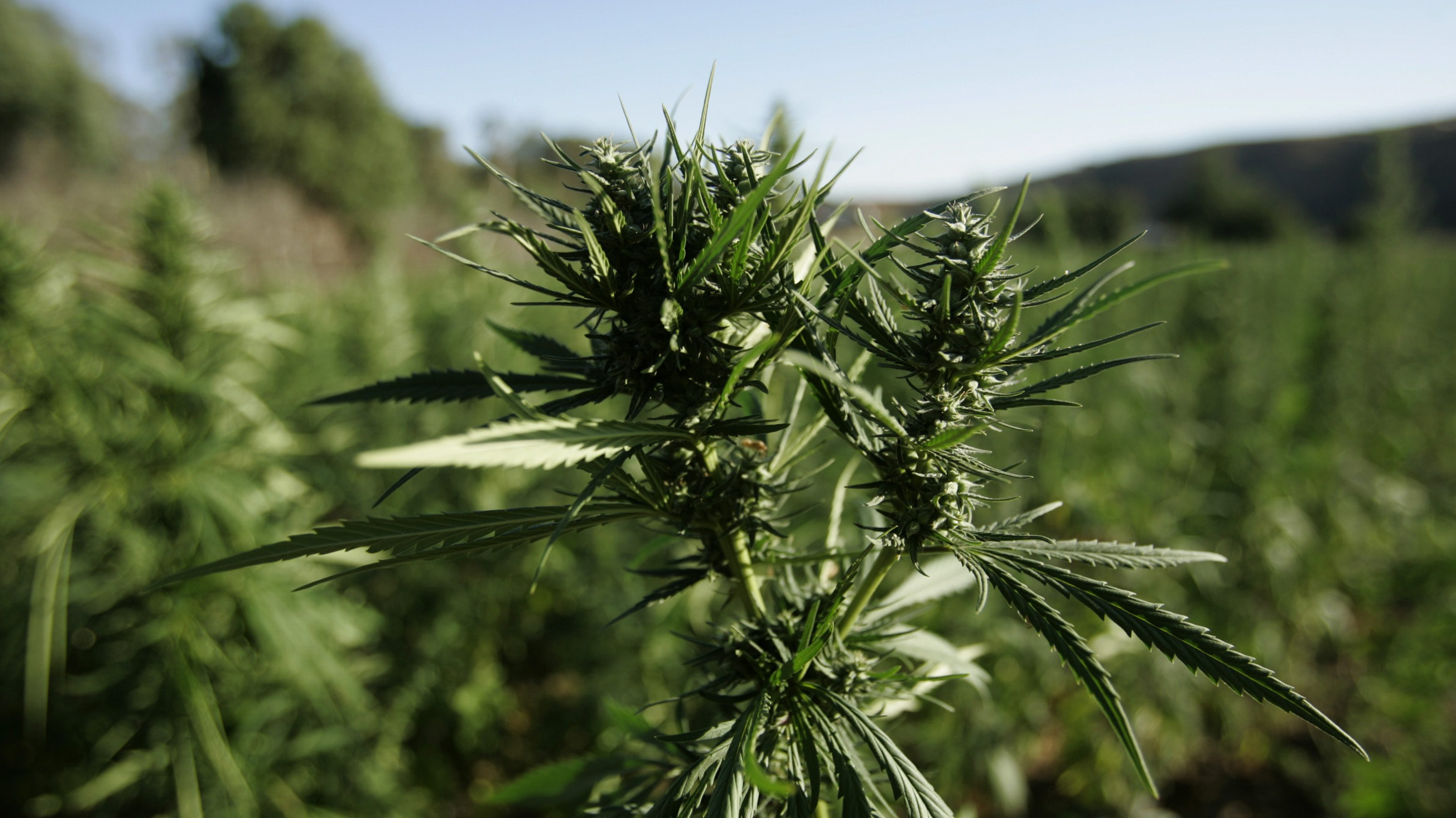 Illegal marijuana growers are poisoning national forests with banned pesticides