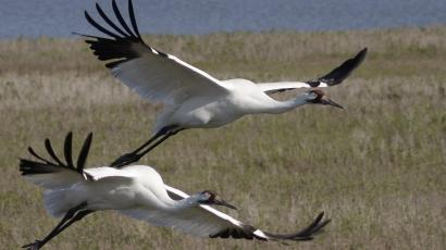 Two whooping cranes in flight