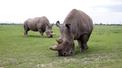 Najin (front) and her daughter Fatu, the last two northern white rhino females, graze in their enclosure at the Ol Pejeta Conservancy in Laikipia National Park, Kenya March 20, 2018.