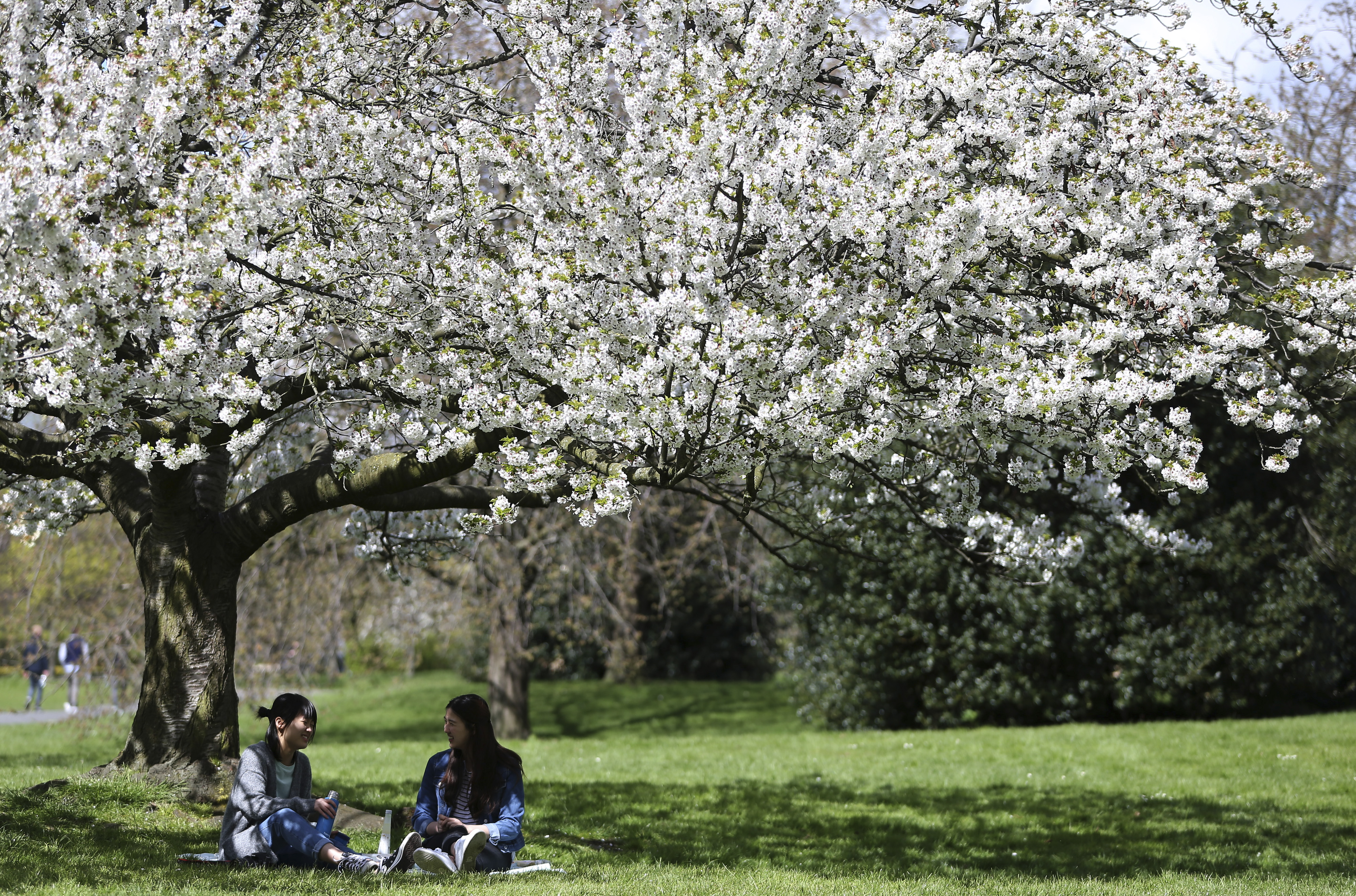 Two women enjoy a picnic under a tree in blossom on a sunny day in Regent's Park in London