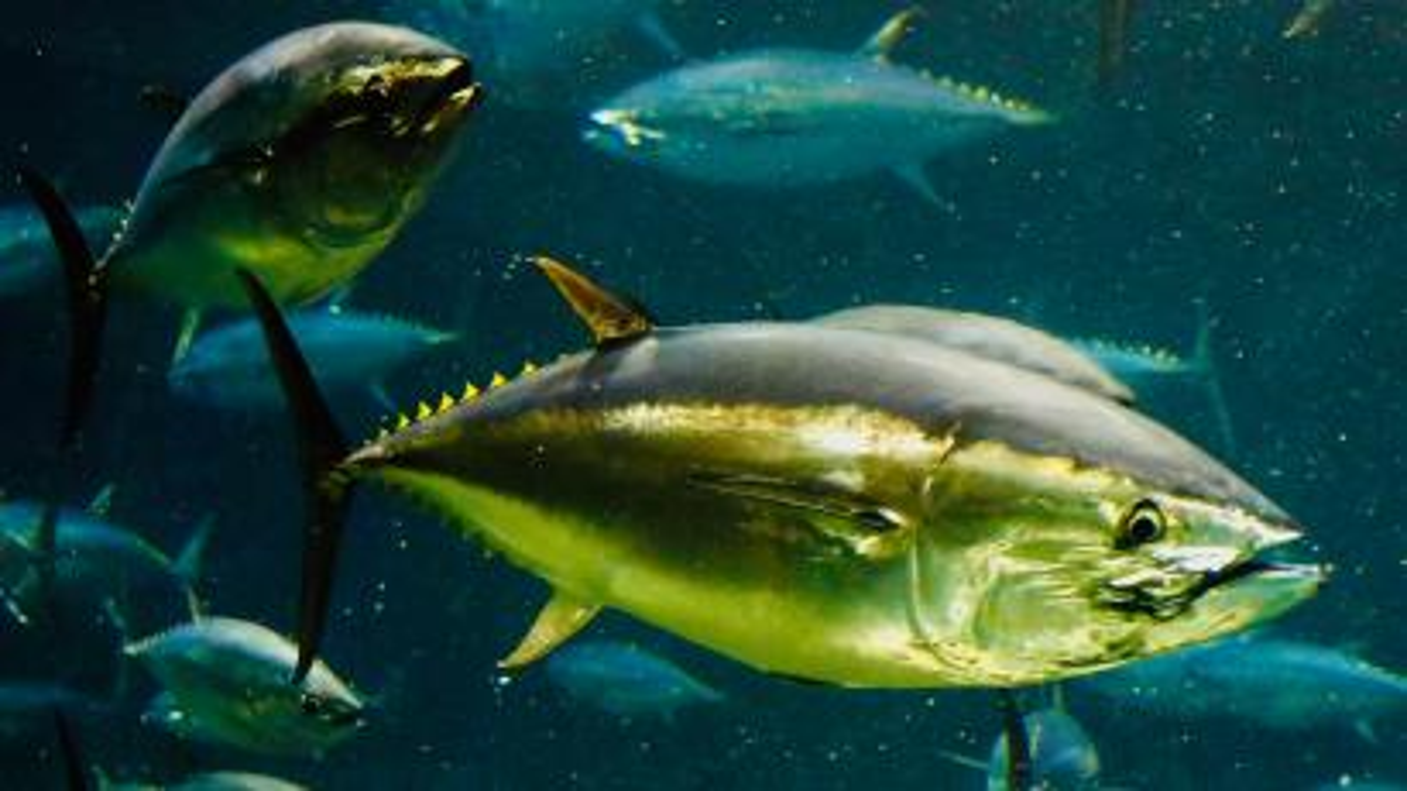 Tuna swimming.