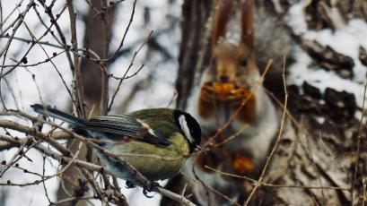 A tomtit bird sits on a branch as a squirrel cracks nuts in the background in a park in Almaty.