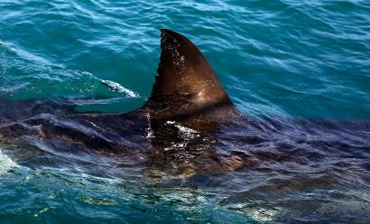 A great white shark fin visible above the water