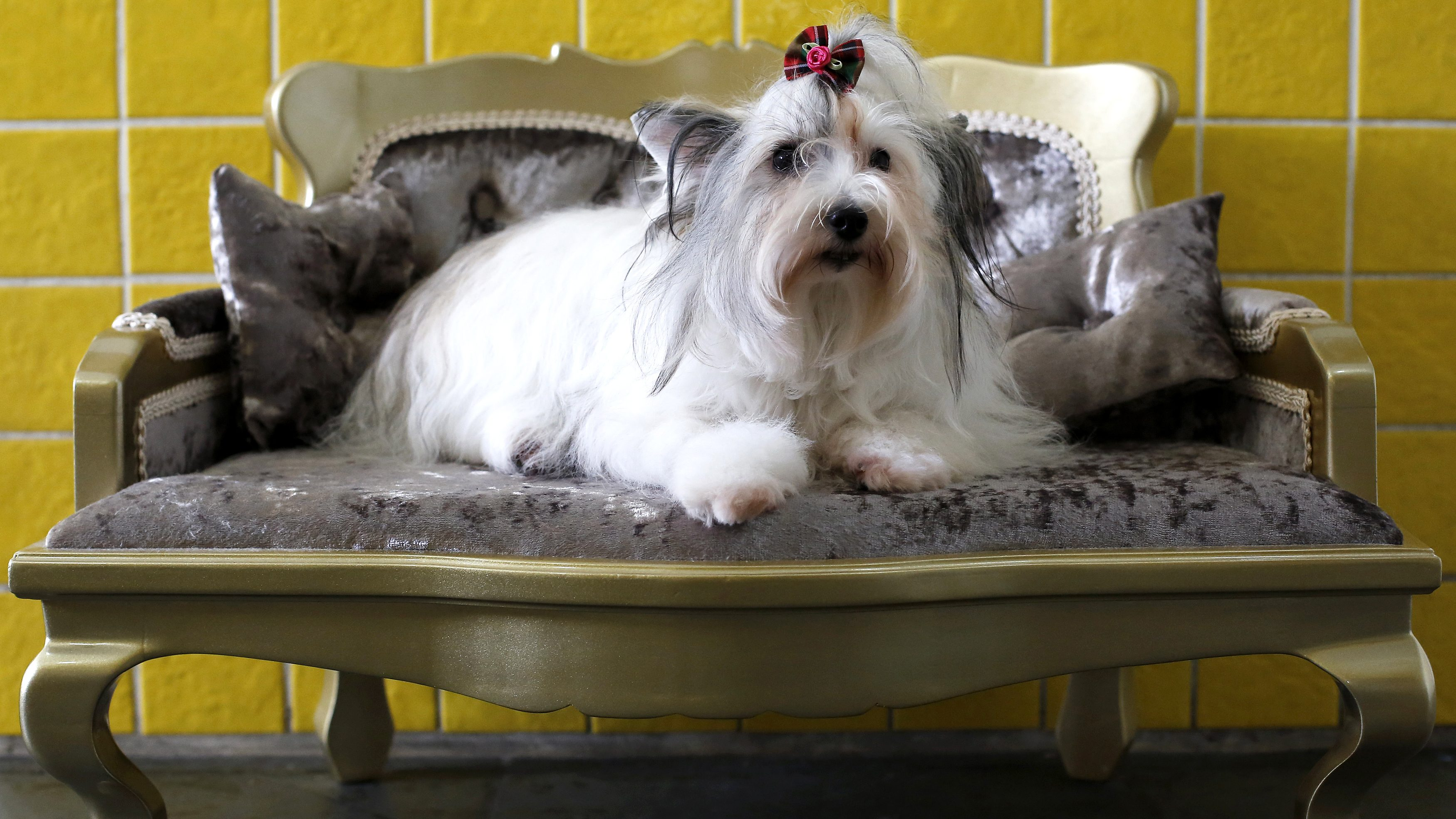 A one and a half-year-old female Chinese Crested Powderpuff poses on a sofa after a beauty treatment for dogs at Pet Salon in Sao Paulo