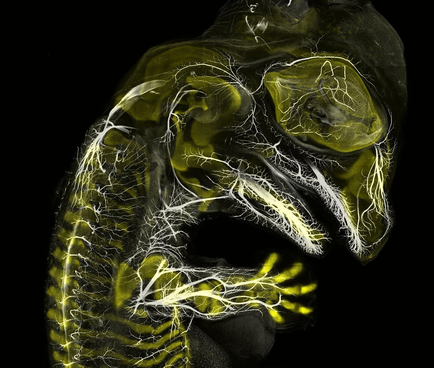 Alligator embryo