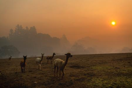 Smoke from a wildfire called the Kincade Fire hangs over Healdsburg as farm animals graze in a pasture on Oct. 28.
