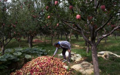 India-Kashmir-Article 370-Apple trade