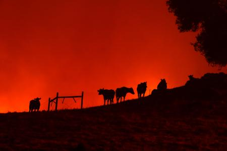 Cows stand on a hill as the Kincade Fire approaches on Oct. 24, 2019 in Geyserville, California.