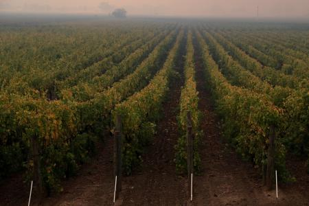 Rows of vines are seen under a smoke-filled sky.