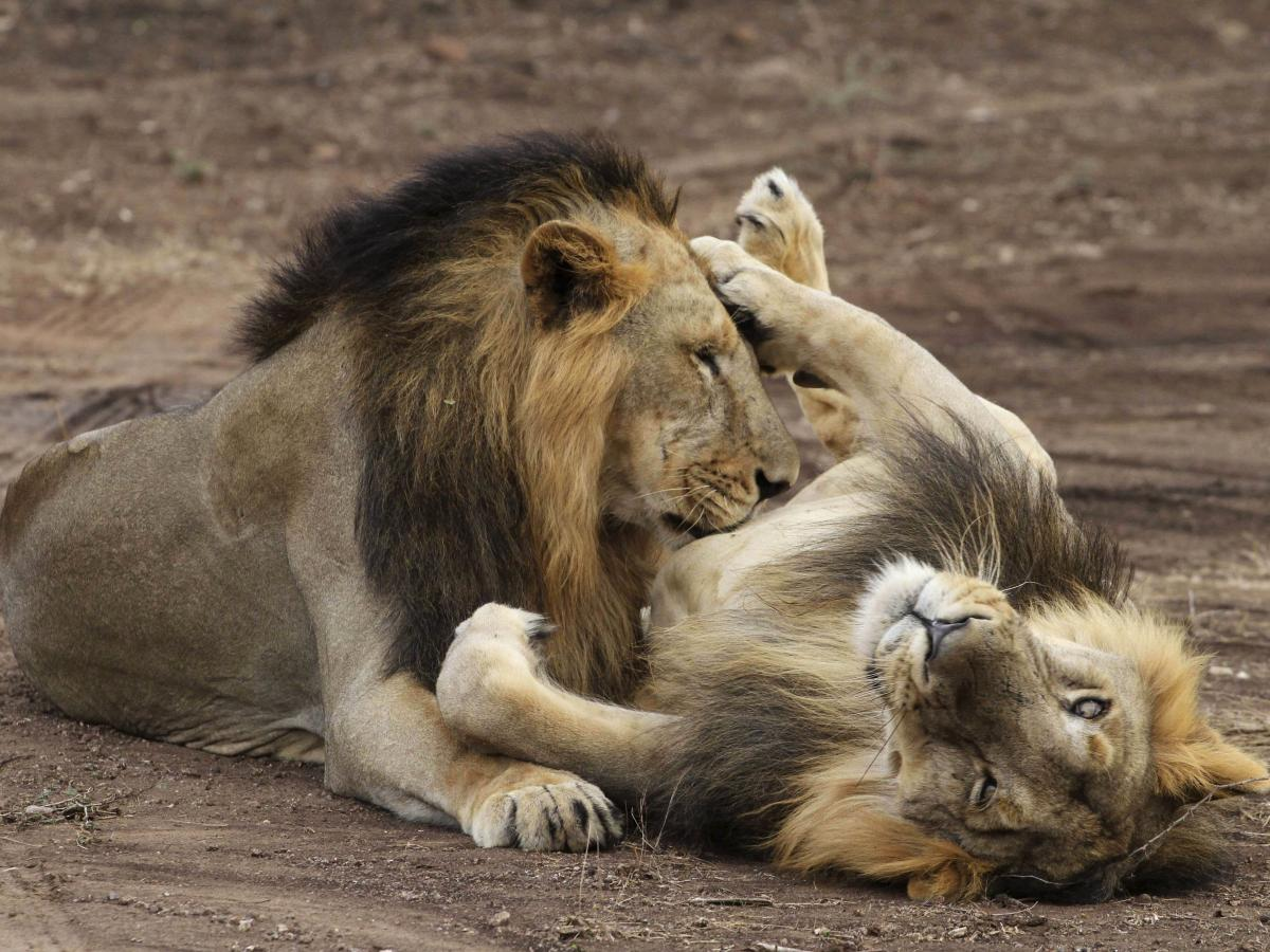 Kuno will soon be India's next lion sanctuary after Gujarat's Gir ...