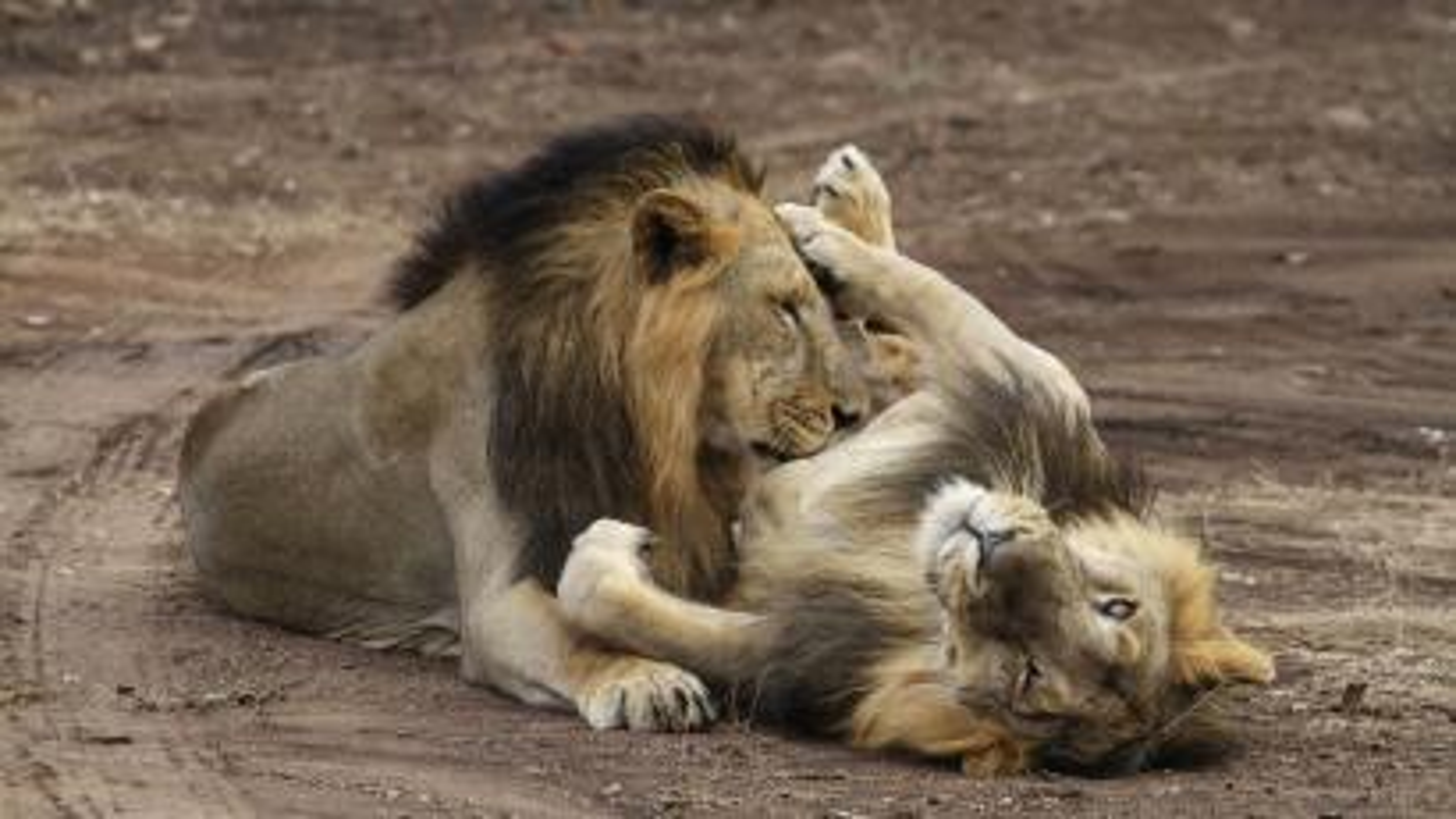 Kuno-Asiatic Lion-Gir