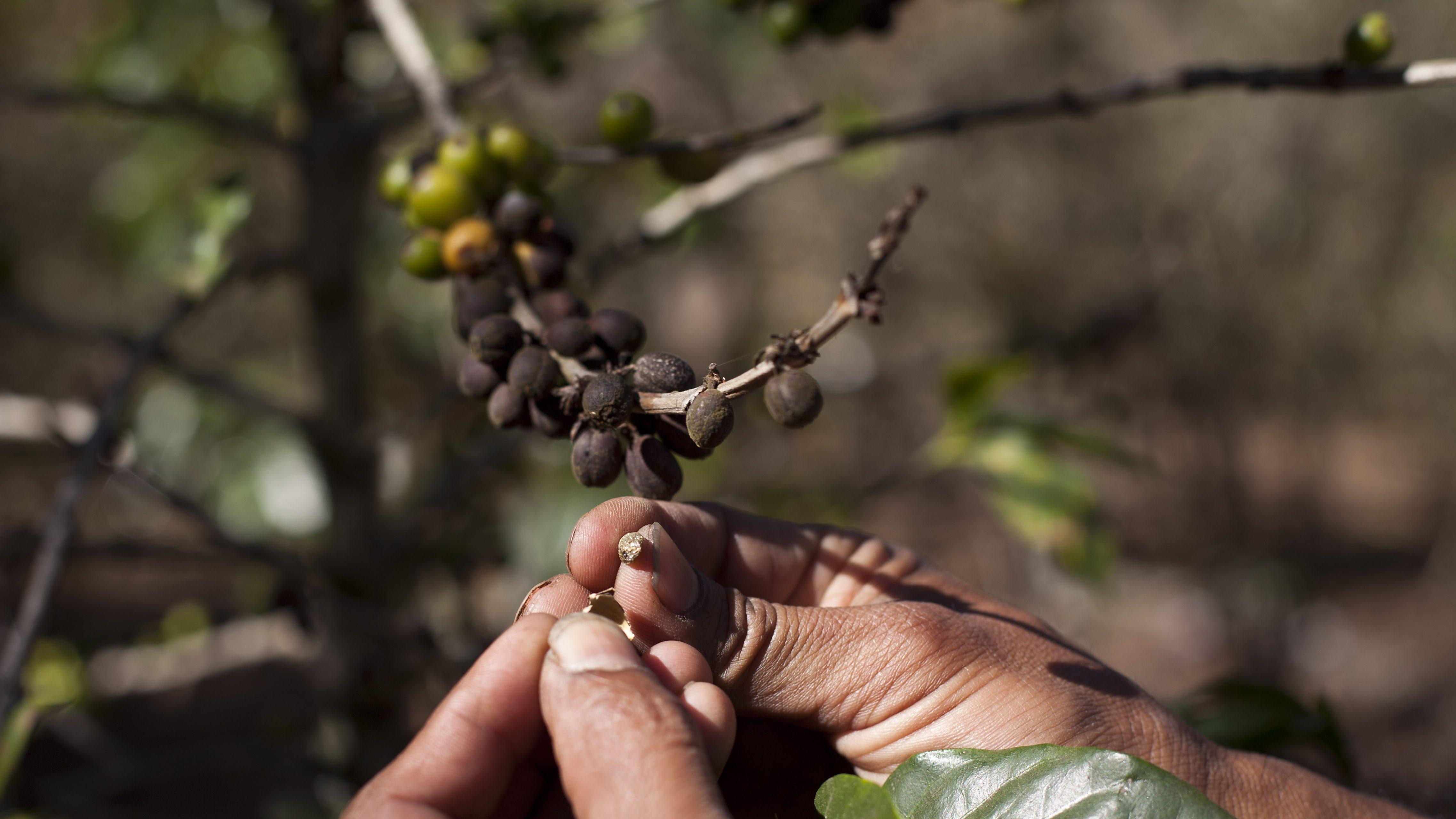 Guatemala Coffee Rust