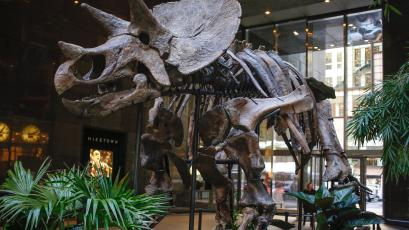 Skeleton of a Chasmosaurine Ceratopsian is displayed at Bonhams auction house in New York.