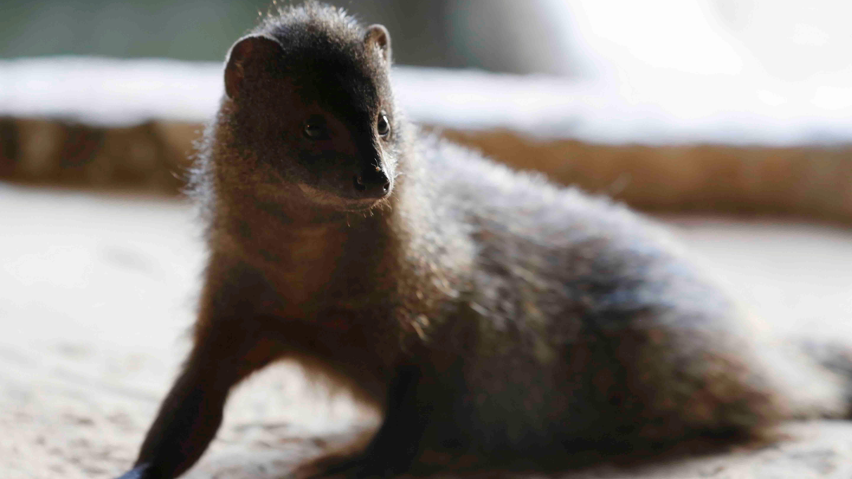 Art kills around 100,000 mongooses in India every year