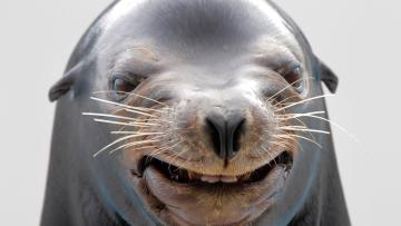 a sea lion smiles