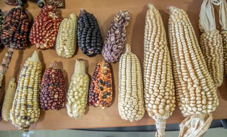 A selections of native Mexican landraces on display at CIMMYT headquarters in Texcoco, Mexico.