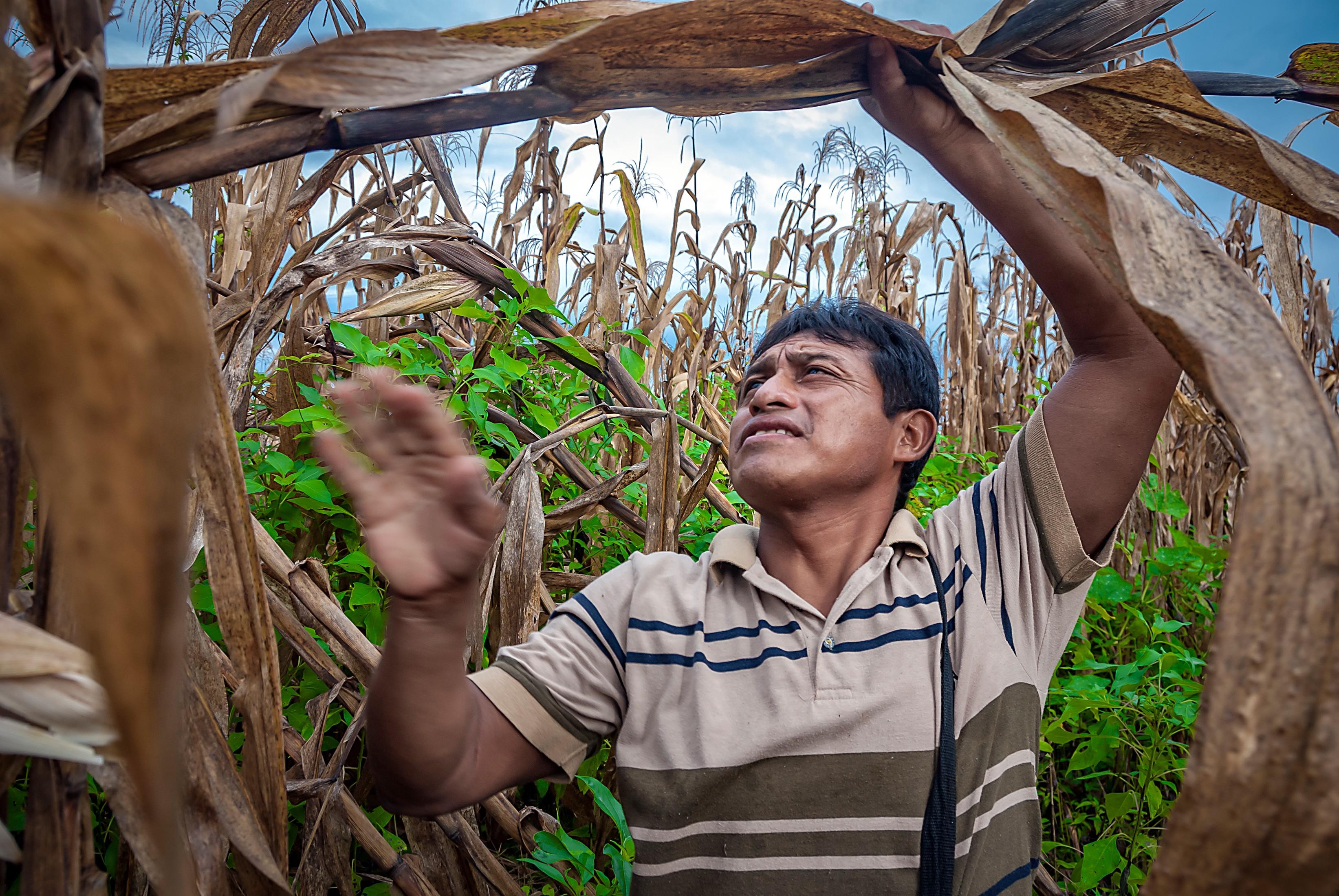 A campesino harvesting maize